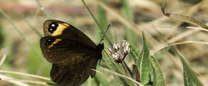 Butterflies in the Drakensberg Mountains