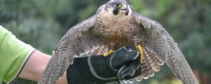 Falcon Ridge bird of prey show